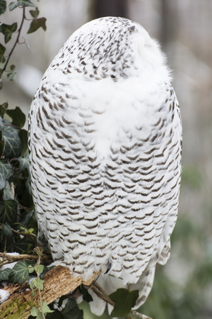 The male owl watching the surroundings.