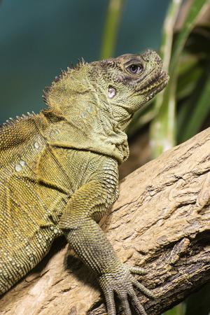 Green lizard watching the surroundings.