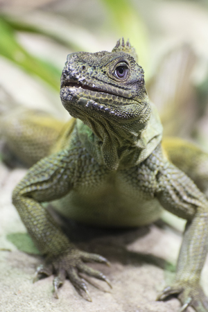Green lizard watching the surroundings. 版權商用圖片 - 96787840