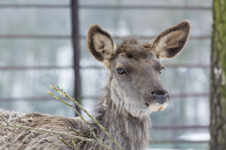 Cervus canadensis, Asian Wapiti - Detail of a female head of a roe.