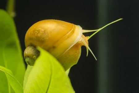 Ampullaria australis - yellow snail climbing the plant.