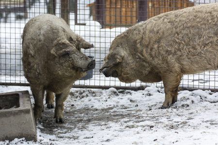 Two adult pigs hairy outdoors on snow.