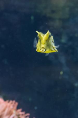 Lactoria cornuta - longhorn cowfish. Imagens