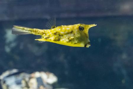 Lactoria cornuta - longhorn cowfish. Banco de Imagens