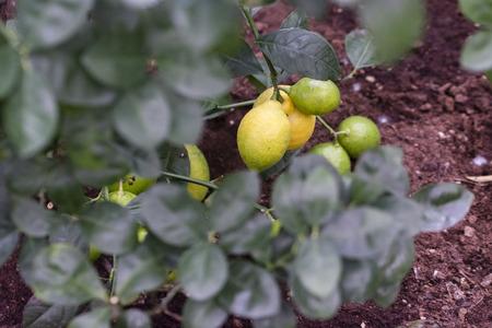 Ripe fruit of lemon on a tree. Imagens