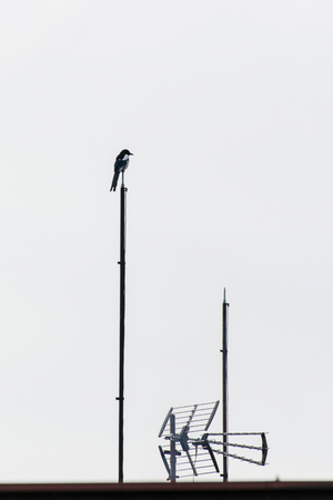 Magpie sitting on the lightning rod.