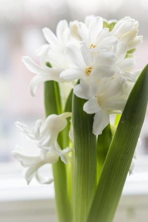 Developed white flowers of hyacinth. Banco de Imagens - 98034913