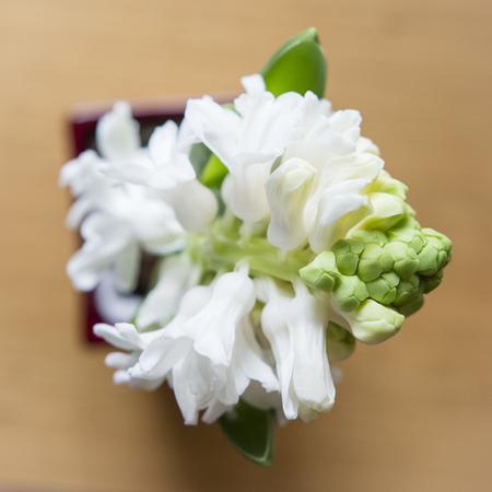 Developed white flowers of hyacinth. Banco de Imagens - 98173407