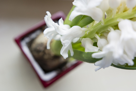 Developed white flowers of hyacinth. Banco de Imagens - 97996162