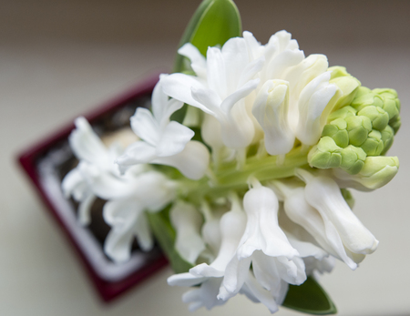 Developed white flowers of hyacinth. Imagens - 98099438