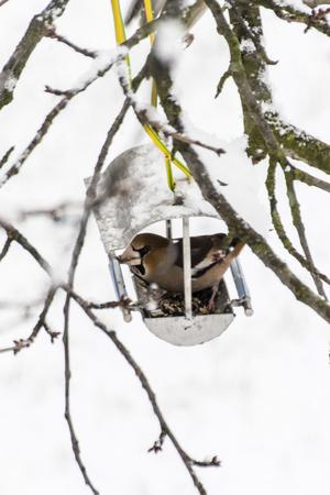 Hawfinch and bird feeder.