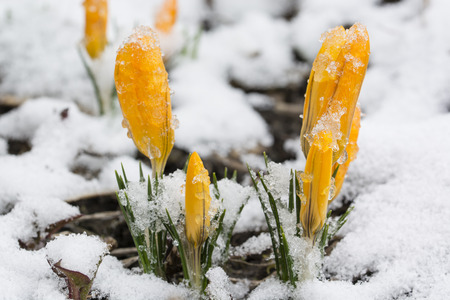 Snowy orange crocus in nature.