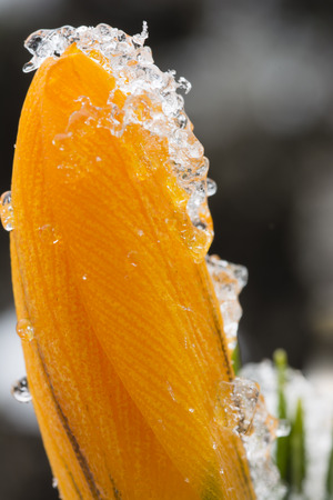 A detail of ice and snow on a orange crocus flower.