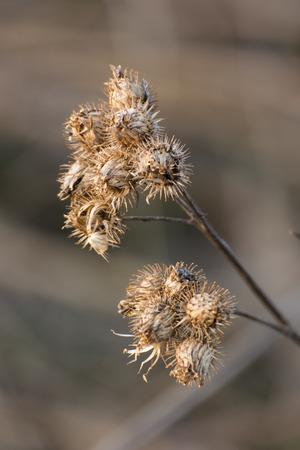 Dry thistle flowers. Imagens