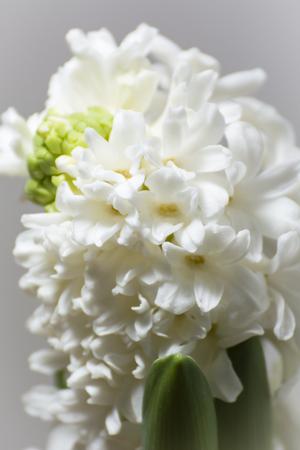 White hyacinth flower. Imagens - 98978020