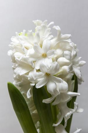 White hyacinth flower.