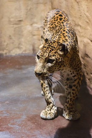Sri Lanka Leopard - standing on a concrete floor in captivity.