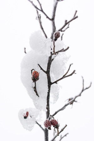 Frost on rosewood rose on winter bushes.