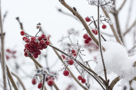 Frost on red berries. Imagens