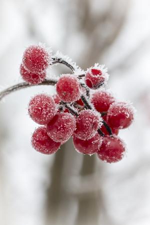 Frost on red berries. Banco de Imagens