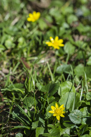 Ficaria green yellow flower with green leaves. Banco de Imagens