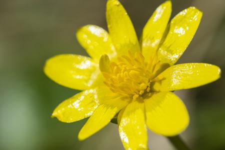 Ficaria verna yellow flower in macro.