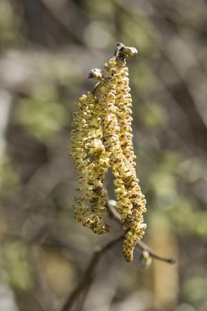 Pollen flowers of hazel.