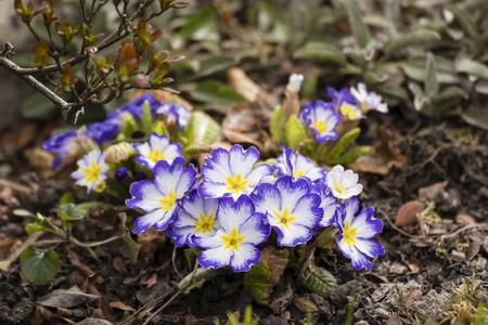 White flowers with a blue primrose trim.