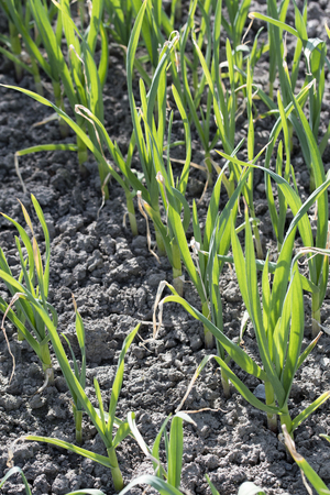 Green stems of planted garlic in the field.