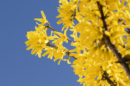 Forsythia yellow bush flowers in the spring season stock photo forsythia yellow bush flowers in the spring season stock photo 99954229 mightylinksfo