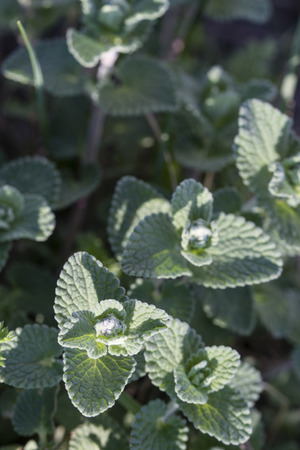 Nepeta cataria - Chant leaf cats.