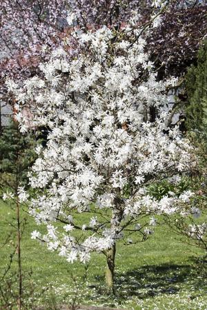 White flowers of magnolia.