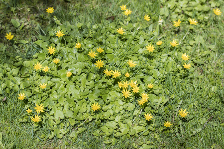 Ficaria green yellow flowers and green leaves. Banco de Imagens