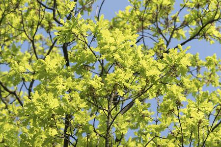 Green oak leaves in spring.