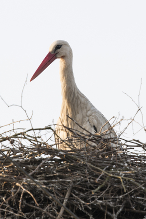 The white stork in the nest is cleaned. Stock fotó - 100568025