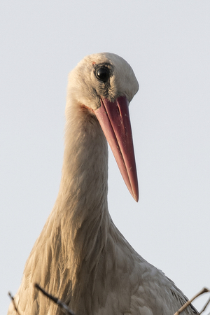 The white stork in the nest is cleaned. Reklamní fotografie