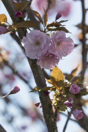 Pink flowers of ornamental cherry sakura. Imagens