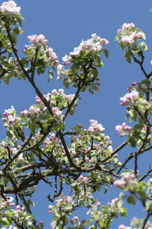 White flowers on apple tree branch.