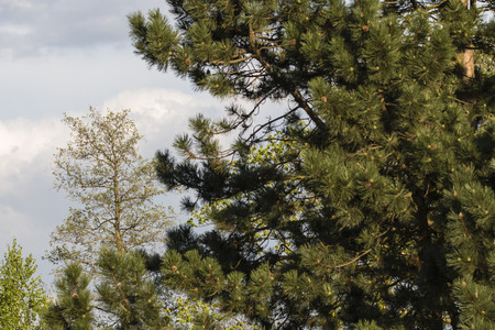 An owl growing behind the pine. Stock Photo - 100803645