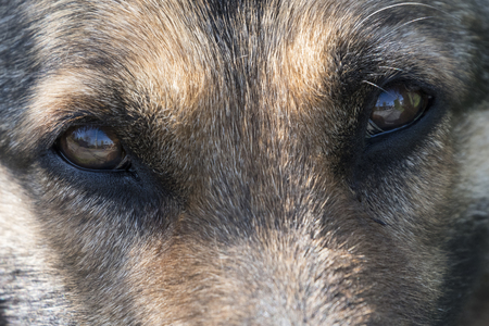 Eyes of an old dog wolf. Imagens