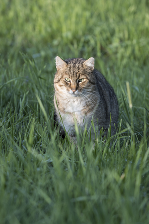 Tabby cat in green grass on hunt.