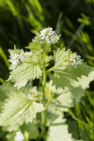 White flowers of garlic herb. Banco de Imagens - 100962538