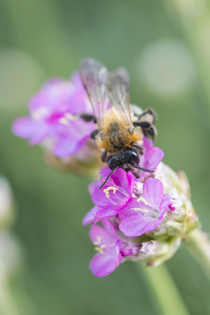A bee pollinating and a pink flower. Imagens