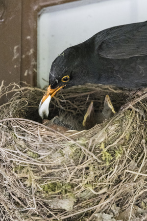 A male scythe picking up the feces from the young in the nest. Фото со стока