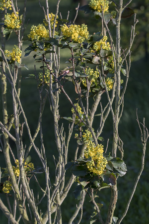 Mahonia - Yellow flowers and branches.