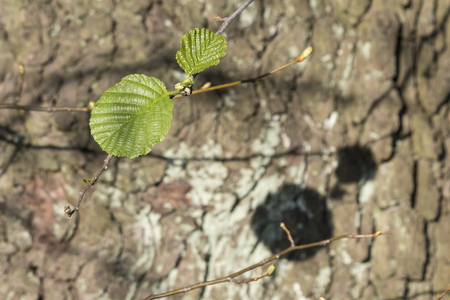 Two leaves of alder and their shadow on the bark of a tree. Stock Photo - 101145595