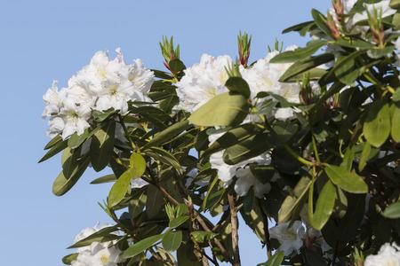 White azalea flowers on a bush outdoors. Imagens