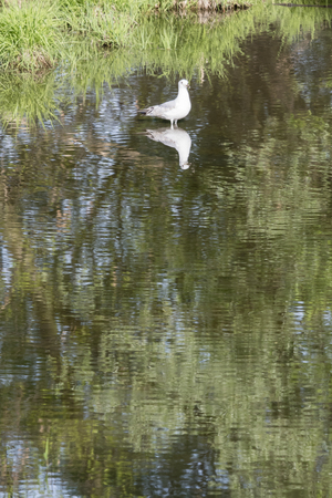 The seagull is in the water.