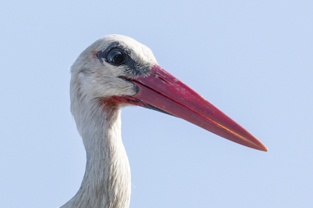 White stork head close. Banco de Imagens - 101304803