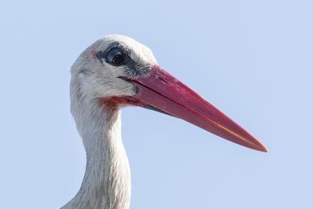 White stork head close.